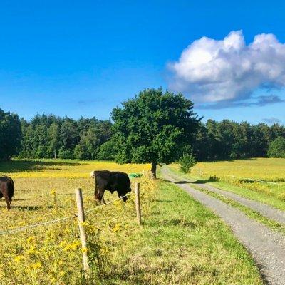 Wanderweg mit Kühen